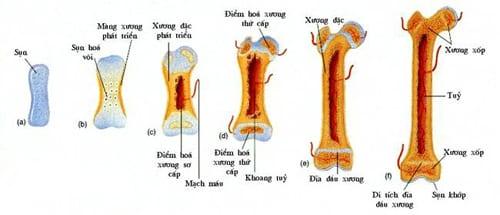 Sự phát triển của hệ xương
